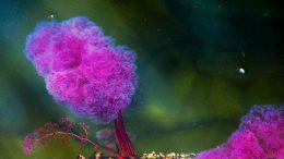 Macarenia clavigera