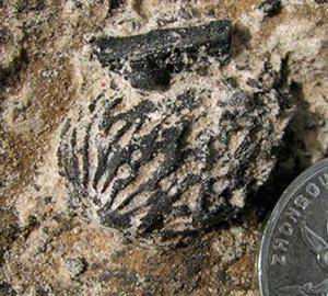 Fósiles de melocotón de dos millones y medio de años