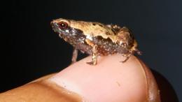 Ejemplar macho de Mini mum sobre una uña.