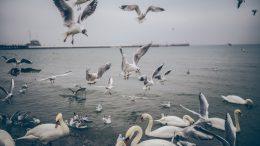 Gaviotas y cisnes