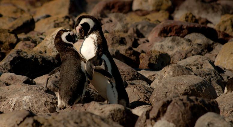 Dos pingüinos en Puerto Deseado, Argentina.