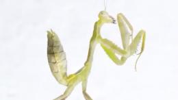 mantis Cardioptera