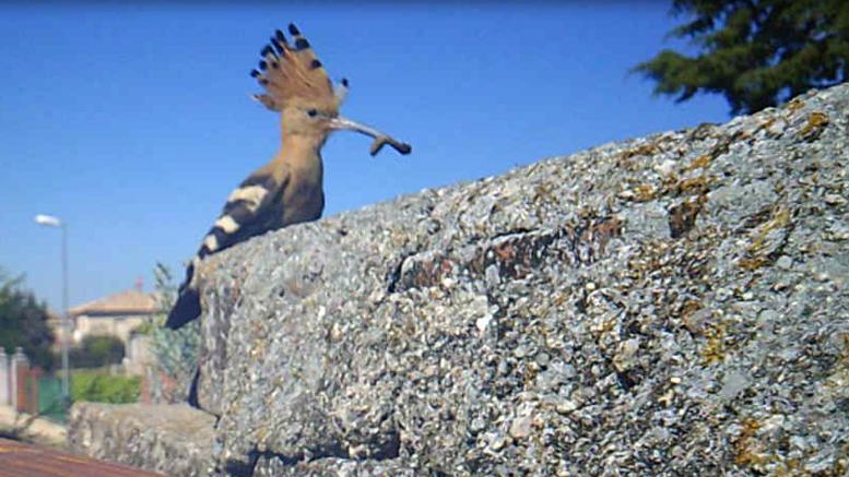 Ejemplar de Abubilla (Upupa epops) a la entrada de su nido