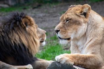 Las leonas viven de media un 60 % más que los leones