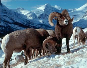 Sólo en condiciones desfavorables, los carneros de las Rocosas machos viven menos que las hembras.