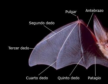 Anatomíad el ala de un muciélago