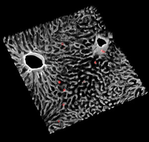 El sistema inmunitario controla el ciclo diario del metabolismo del hígado