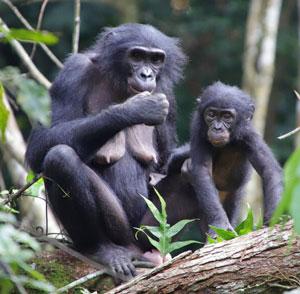 los bonobos adoptan de forma altruista